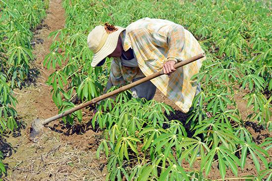 Cây sắn là cây trồng truyền thống và chủ lực của Quế Sơn nhưng chưa đem lại giá trị kinh tế cao. Ảnh: Q.T