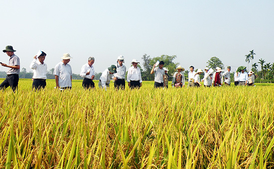 Quảng Nam được xem là trung tâm sản xuất giống lúa hàng hóa với quy mô gần 3.500ha/năm. Ảnh: VĂN SỰ