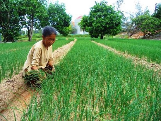 Người dân chuyển đổi trồng cây nén trên đất cát nên cần quy hoạch tạo ra vùng sản xuất chuyên canh tập trung. Ảnh: T.Q