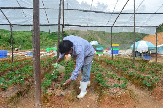 Nhiều luống dâu được giăng lưới để tránh thời tiết cực đoan. Ảnh: Q.T