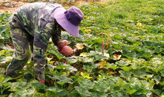 Nông dân trồng bí hồ lô vùng bãi bồi ven sông Vu Gia phấn khởi vì giá cao, đầu ra ổn định. Ảnh: TRIÊU NHAN