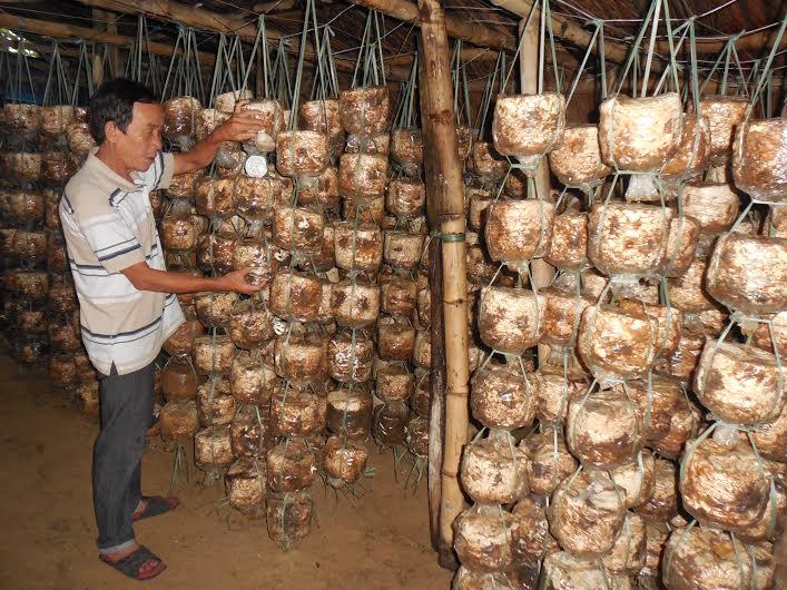 Mô hình trồng nấm sò mang lại thu nhập thường xuyên cho người dân. Ảnh: K.T