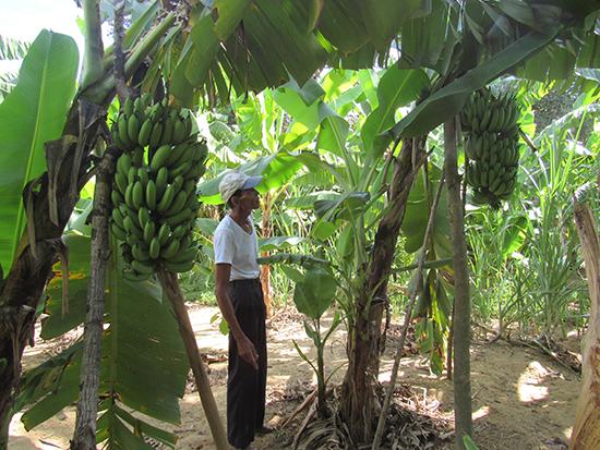 Vườn chuối ông Dương Minh Thập (Quế Long, Quế Sơn) cho trái khoảng 10 nải 1 buồng. Ảnh: T.M
