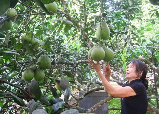 Quả thanh trà mang lại nguồn thu đáng kể cho bà con nông dân huyện Tiên Phước.
