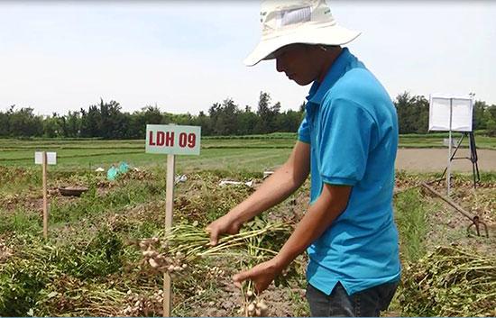 Đưa giống đậu phụng LDH 09 chống mặn tại Bình Nam.  Ảnh: Biên Toàn