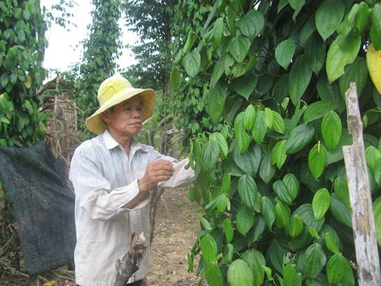 Vườn tiêu của anh Nguyễn Phú Vinh – Một trong những mô hình trên 100 choái của xã Tiên Hà đã được nghiệm thu hổ trợ. Ảnh: P.H