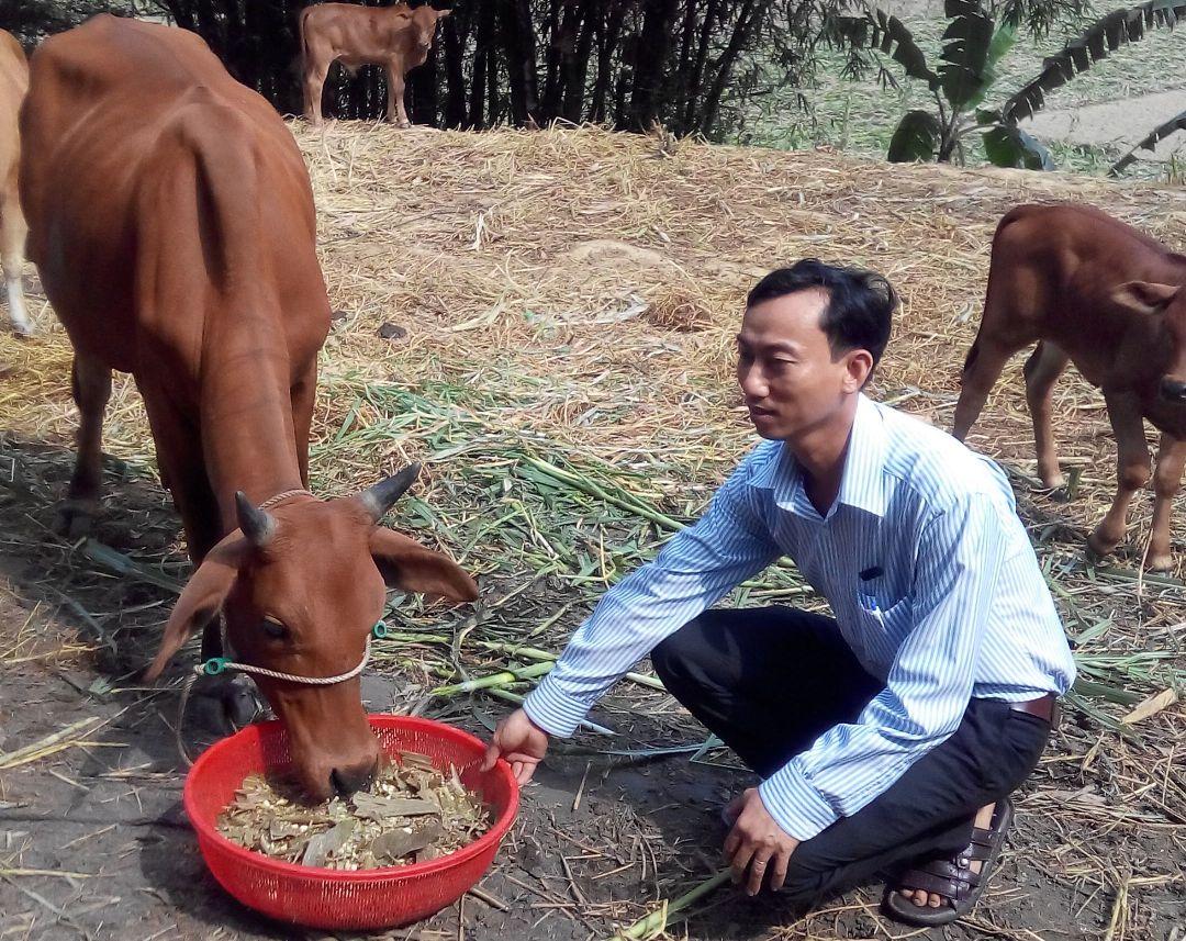 Mùi vị của loại thức ăn này rất kích thích gia súc. Ảnh: MINH THÔNG
