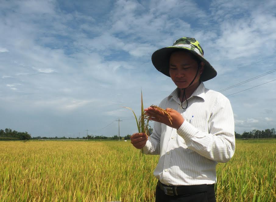 Tham quan những ruộng lúa sản xuất khảo nghiệm tại thị trấn Nam Phước (Duy Xuyên). Ảnh: HOÀI NHI