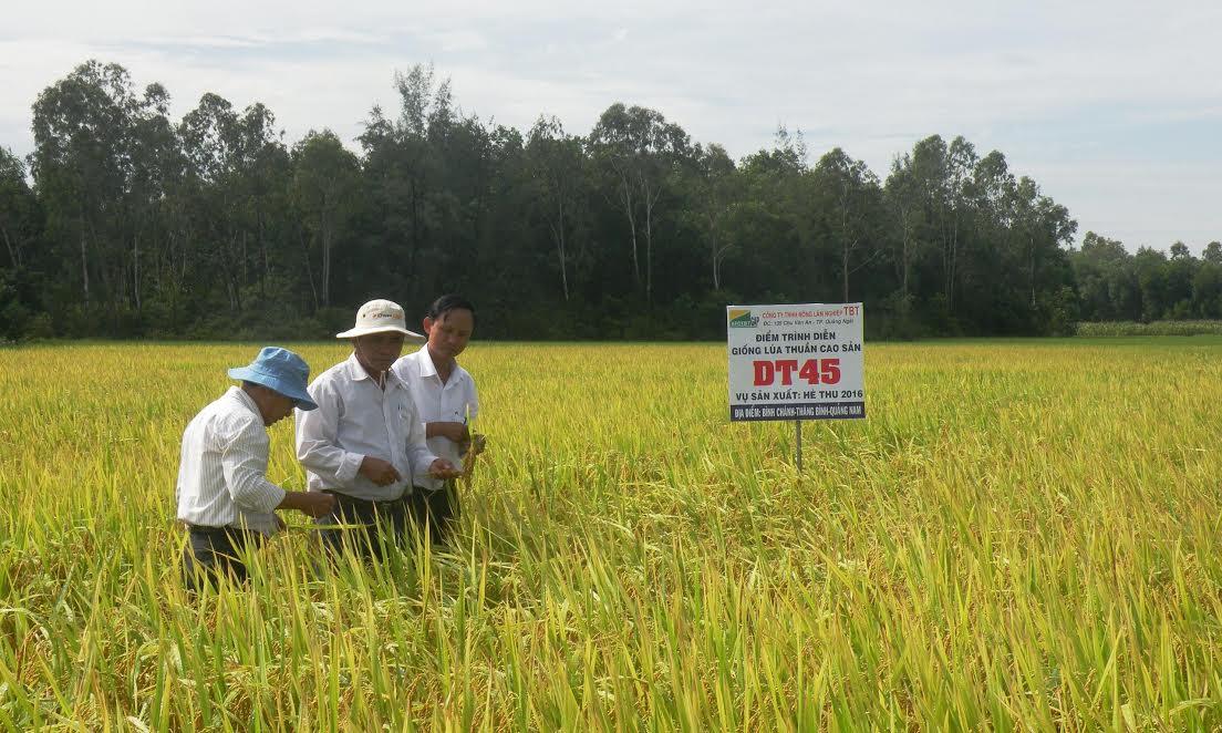Tham quan ruộng lúa DT45 tại thôn Ngũ Xã (Bình Chánh, Thăng Bình) vào hôm nay 30.8. Ảnh: VĂN SỰ