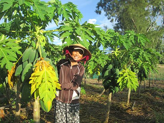 Tại nhiều địa phương vùng cát, người dân đã chặt phá điều ghép và chuyển sang sản xuất các loại cây trồng cạn chủ lực.