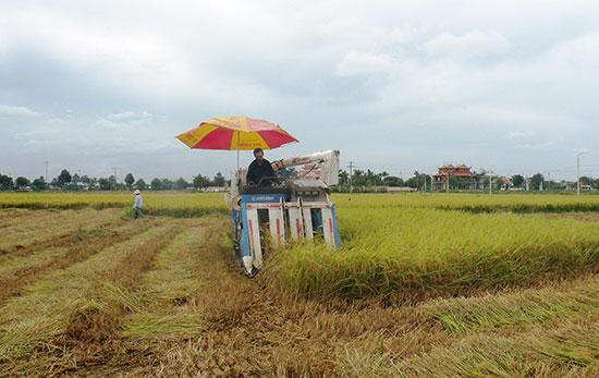 Nhờ có máy gặt đập liên hợp nên tiến độ thu hoạch diễn ra rất nhanh.