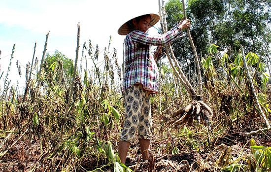 Nhiều hộ dân thu hoạch sắn để bán mong vớt vát lại vốn.