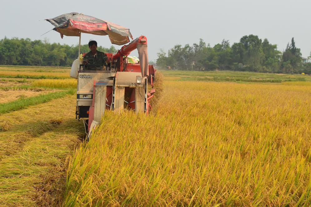 Thu hoạch lúa bằng máy gặt đập liên hợp ở huyện Phú Ninh.