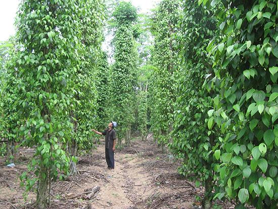Tiêu là loại cây trồng đặc sản vừa cho giá trị kinh tế cao vừa tạo cảnh quan cho vườn quê Tiên Phước.