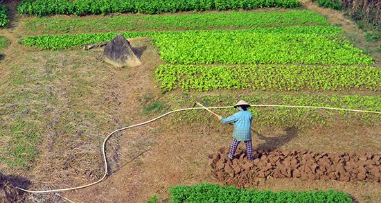 Các làng rau ở Quảng Nam luôn thiệt hại nặng mỗi khi gặp thời tiết xấu bởi canh tác dựa vào thiên nhiên.Ảnh: QUỐC TUẤN