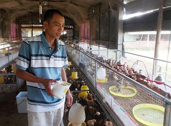 Anh Chức kiểm tra trứng gà và cho đàn gà ăn.