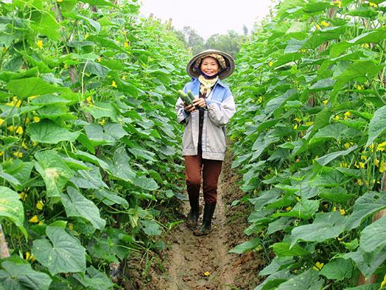 Nông dân Duy Xuyên liên kết với Công ty TNHH Thương mại - xuất nhập khẩu Việt Thắng sản xuất dưa leo Nhật Bản thu về 150 - 200 triệu đồng/ha/vụ.Ảnh: VĂN SỰ