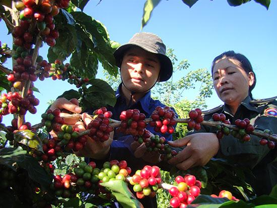 Công nhân kỹ thuật Công ty Hữu Nghị Nam Lào hướng dẫn quân nhân Sư đoàn 5 thu hoạch cà phê. Ảnh: H.VÂN