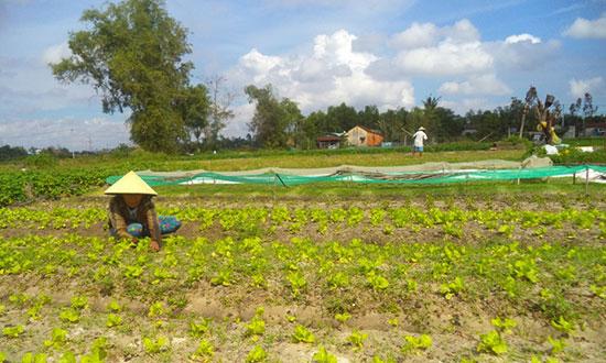 Nông dân phường Trường Xuân trồng rau để bán trong dịp tết năm nay. Ảnh: T.Q