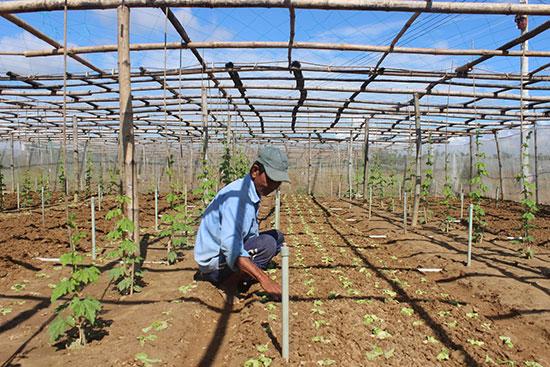 Khu vực trồng rau an toàn của gia đình ông Hồ Thăng. Ảnh: L.B