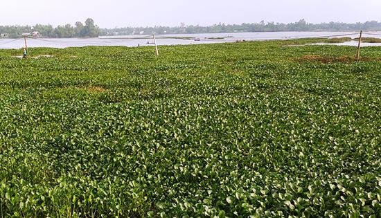 Hơn 12ha mặt nước đồng ruộng ở các xã Quế Xuân 1, Quế Xuân 2 bị bèo tấp vào gây khó khăn cho nông dân sản xuất. Ảnh: DUY THÁI