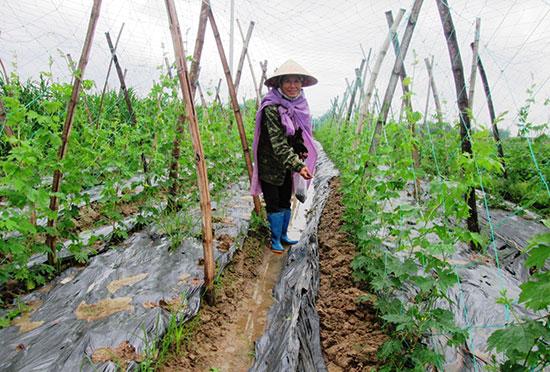 Bà Lương Thị Giám ở thôn Mậu Hòa (xã Duy Trung, Duy Xuyên) đang bón phân cho ruộng khổ qua.  Ảnh: HOÀI NHI
