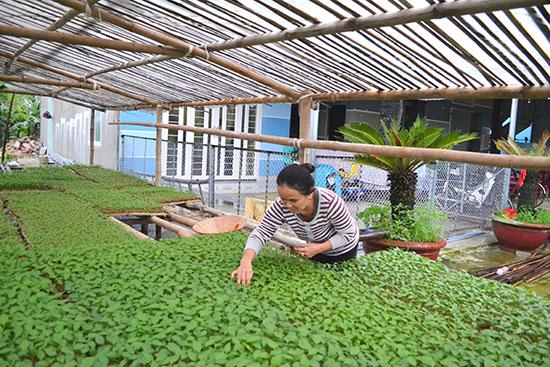 Nông dân xã Điện Quang chăm sóc giống ớt được ươm để trồng trên đất màu.