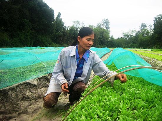 Hiện nay, chỉ có sản phẩm của HTX rau sạch Mỹ Hưng (xã Bình Triều, Thăng Bình) bày bán tại siêu thị Co.opMart Tam Kỳ.