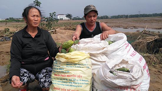 Nông dân vớt vát rau quả khi lũ vừa rút. Ảnh chụp tại thôn Mỹ Thuận, xã Đại Nghĩa. Ảnh: HOÀNG LIÊN