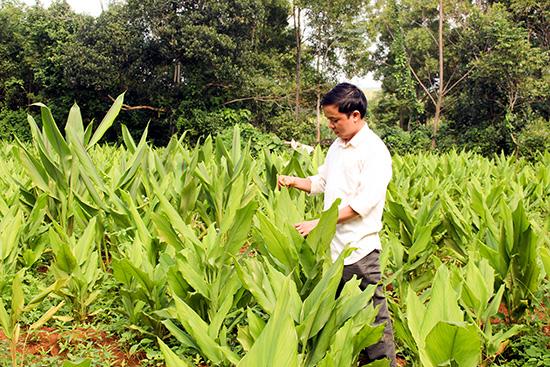 Người dân xã Tam Thành với vườn nghệ dược liệu. Ảnh: T.A