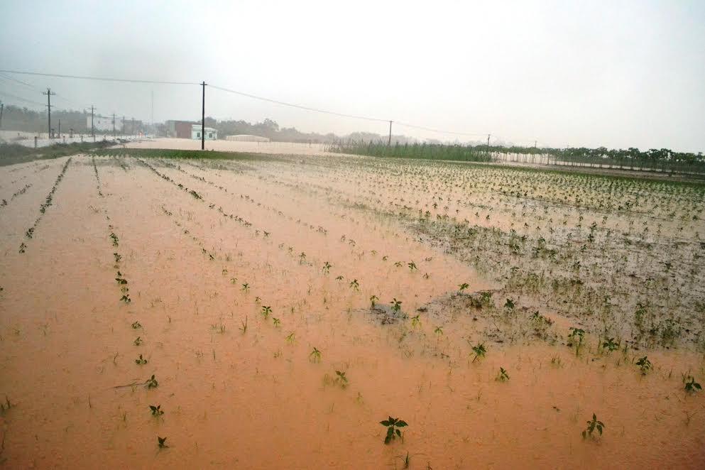 Trong những đợt mưa lũ vừa rồi, Quảng Nam có 4.572ha lúa và hoa màu bị mất trắng.