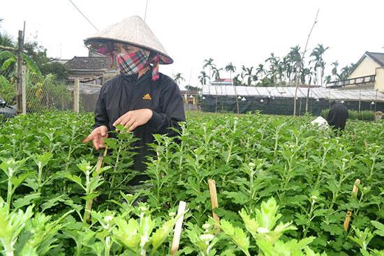 Người trồng cúc trên địa bàn TP.Hội An lo lắng hoa trổ muộn.Ảnh: N.Q.V