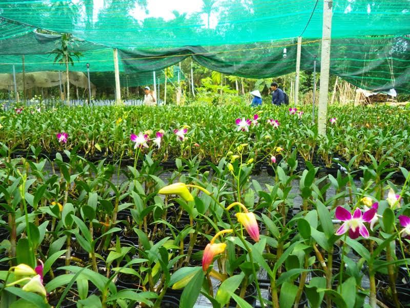 Vườn hoa lan của ông Lê Thanh Cương đang tất bật chuẩn bị cho vụ Tết.