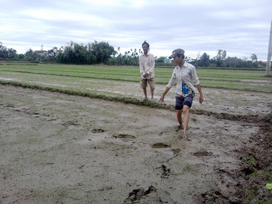 Vợ chồng ông Võ Long (thôn Phước Thắng, xã Cẩm Kim) kiểm tra ruộng lúa bị nhiễm mặn.Ảnh: LÊ HIỀN