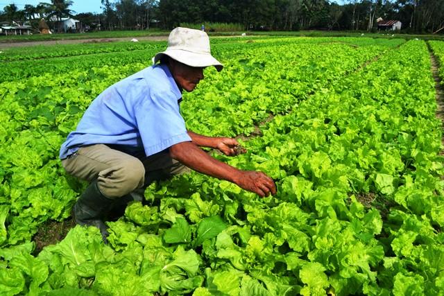 Rau sạch đem lại giá trị kinh tế cao cho gia đình ông Phạm Đình Tín. Ảnh: N.Q.Việt