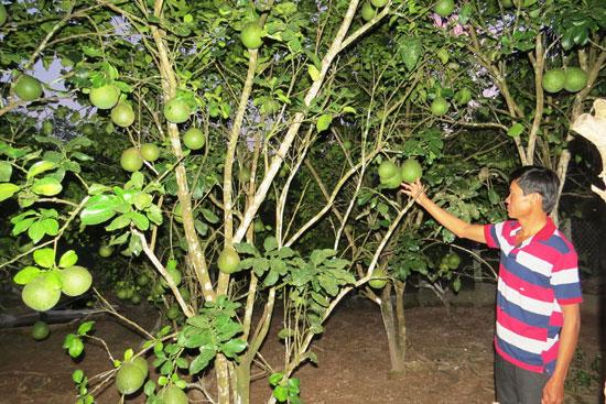 Ông Võ Hai trong vườn bưởi da xanh và cam sành vừa cho quả đầu mùa. Ảnh: TRIÊU NHAN