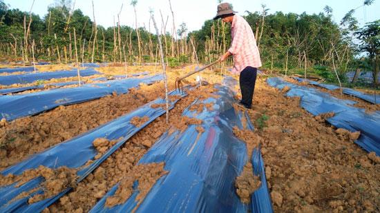 Mô hình trồng cây dược liệu xen cây tiêu của anh Nguyễn Cao Thiên, xã Phước Thành. Ảnh: HOÀNG LIÊN