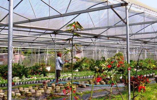 Vườn sản xuất hoa kiểng của anh Hiền tạo công ăn việc làm cho nhiều lao động địa phương. Ảnh: H.Liên