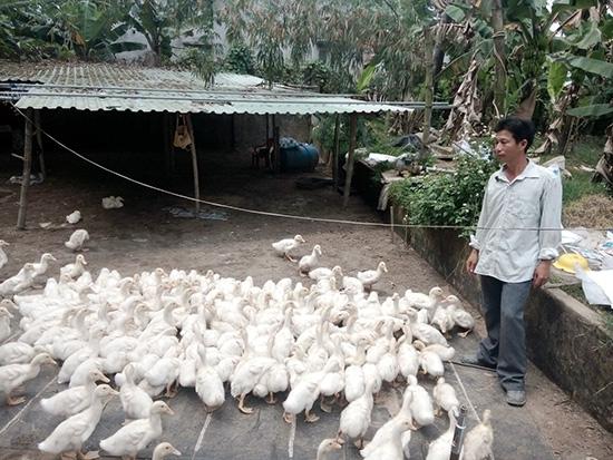 Giá vịt xuống thấp nhất trong những năm qua, đầu ra bất ổn khiến nông dân khó khăn. Ảnh: M.Phường