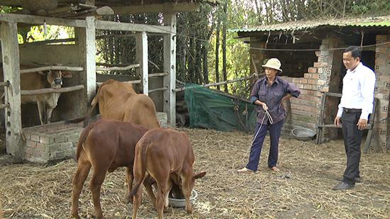 Nhờ được hỗ trợ bò,  kinh tế gia đình chị Nga từng bước được cải thiện.  Ảnh: D.T