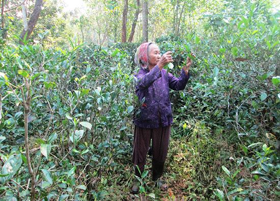 Vườn chè của cụ Giác góp phần giữ sắc hương cho vùng đất An Bằng. Ảnh: M.Phường