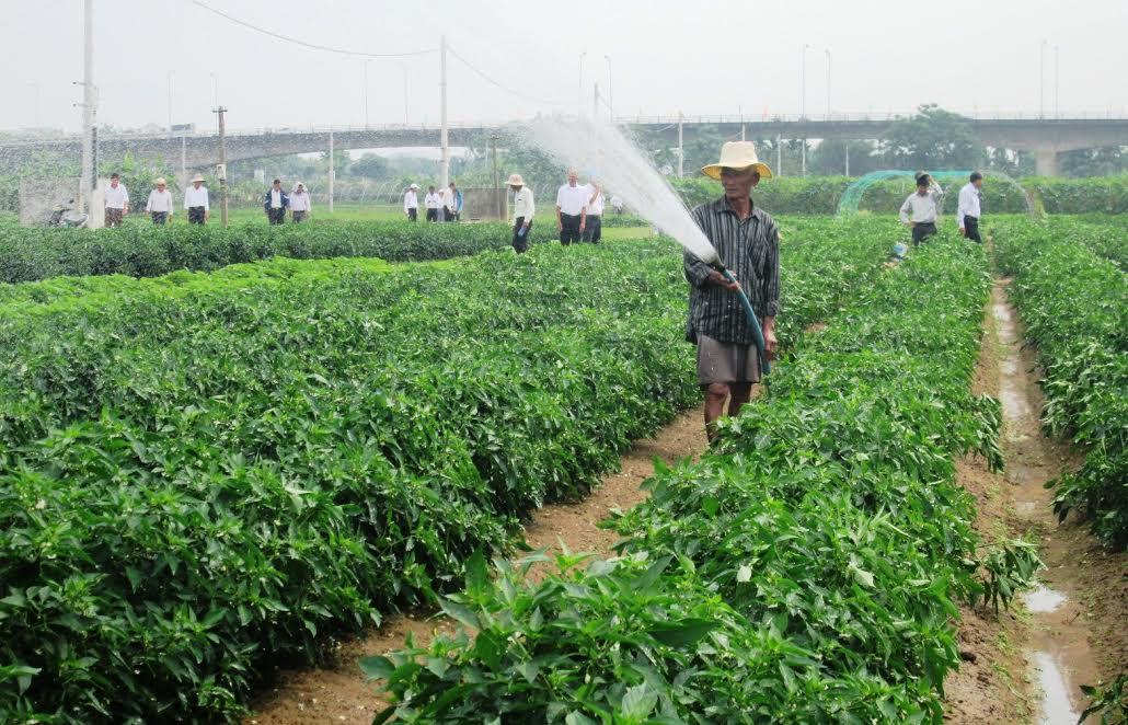 Nhiều mô hình trồng trọt theo hướng hàng hóa tập trung ở quận Cẩm Lệ cho hiệu quả kinh tế cao.