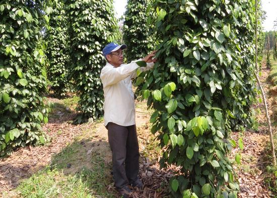 Vườn tiêu cả 1.000 choái lên xanh tốt của ông Đặng Hữu Tình (thị trấn Phú Thịnh). Ảnh: H.LIÊN