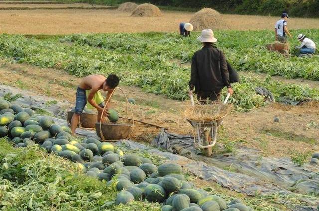 Nông dân Phú Ninh được mùa dưa. Ảnh: CÔNG LINH