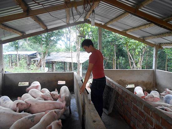 Anh Nguyễn Văn Hòa chăm sóc đàn heo ở trang trại của mình.  Ảnh: THIÊN THU
