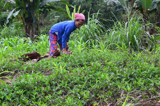 Người dân thôn 1, xã Phước Năng, huyện Phước Sơn đang chăm vườn rau lủi. Ảnh: DƯƠNG THẮNG