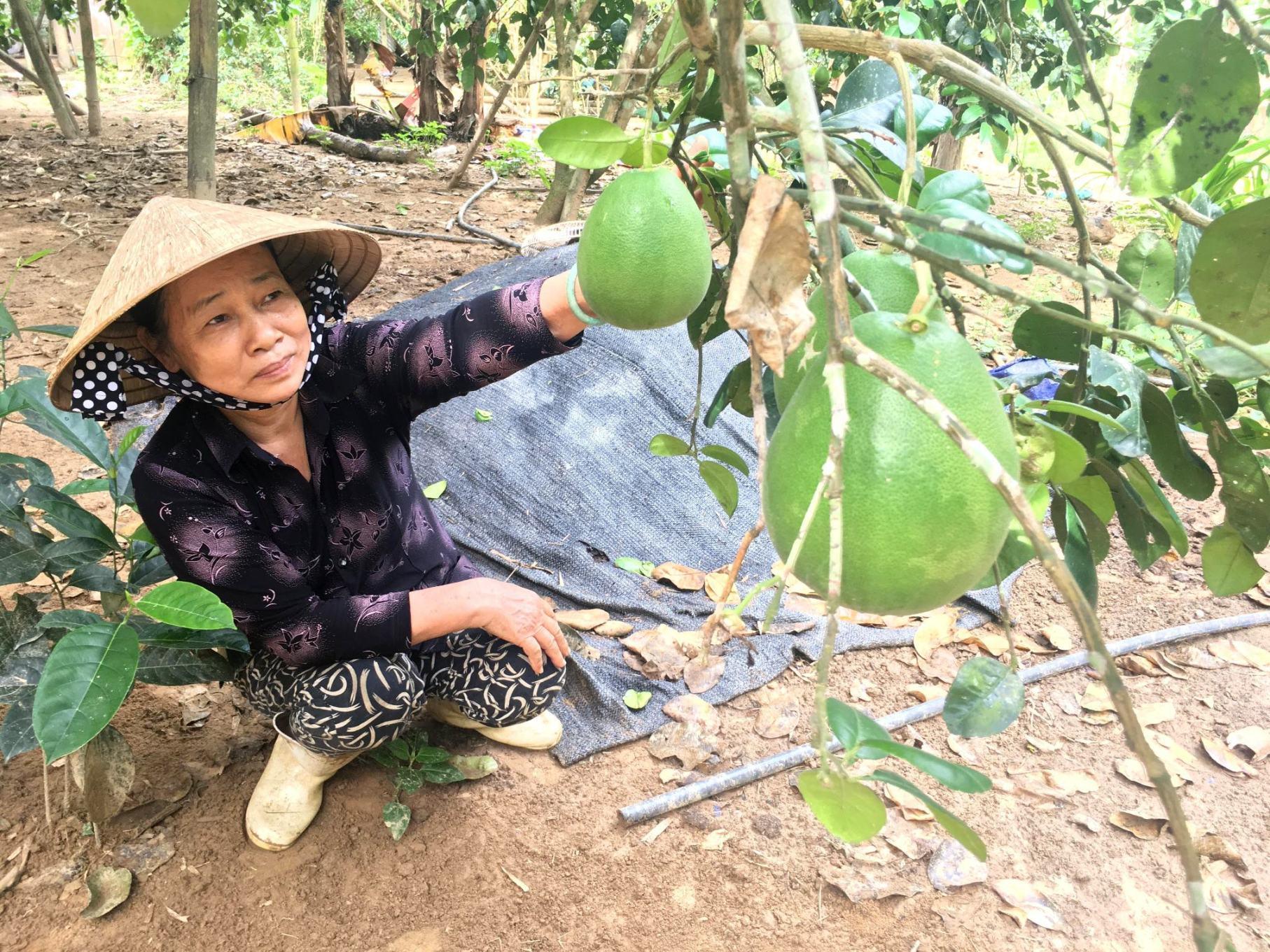 Giống bưởi trụ Đại Bình được đưa ra trồng ở những vùng lân cận vẫn cho hiểu quả cao. Ảnh: VINH THÔNG