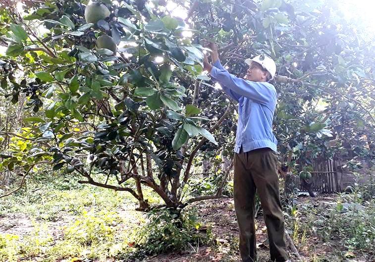 Giống bưởi trụ Đại Bình dù được trồng ở đâu cũng phải đảm bảo dinh dưỡng trong đất và nguồn nước tưới. Ảnh: VINH THÔNG