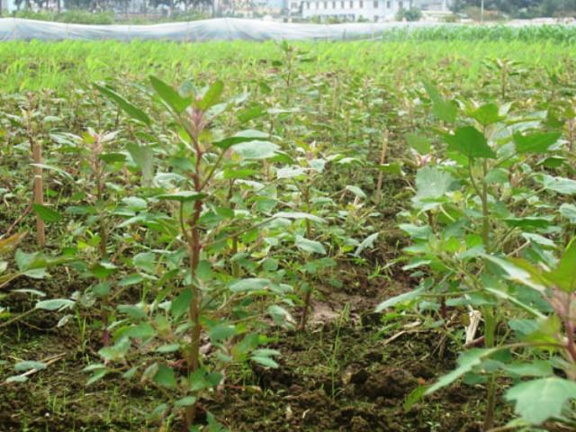 Cánh đồng trồng cây Quinoa. Ảnh: Internet