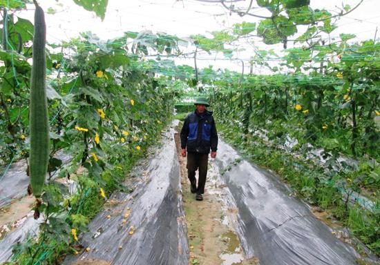 Những năm qua, nông dân Duy Trung mạnh dạn chuyển đổi đất lúa sang trồng rau màu và đạt hiệu quả kinh tế cao.Ảnh: T.P